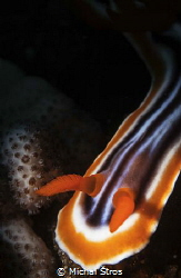 Chromodoris nudibranch by Michal Štros