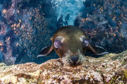 The Curious Sea lion pup by Nontarida Pahsukkul