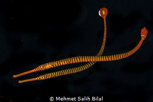 Banded pipefish couple. by Mehmet Salih Bilal