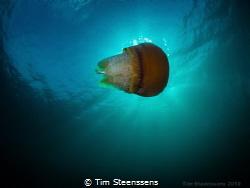 Jellyfish Eating Fish by Tim Steenssens