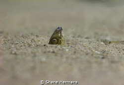 A Snake-eel lying in wait to grab its next meal by Shane Hermans
