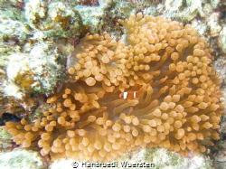 Spinecheek anemonefish (Maroon Clownfish) - Premnas biacu... by Hansruedi Wuersten