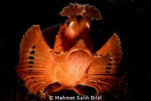 Rhinopias eschmeyeri with snoot. by Mehmet Salih Bilal