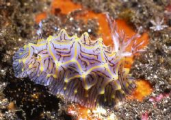 Reticulated Wart Nudi by David Spiel