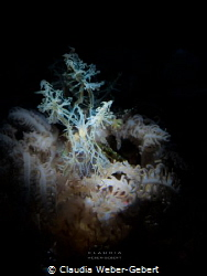 difficult to find - Melibe colemani - Lembeh Strait, Indo... by Claudia Weber-Gebert