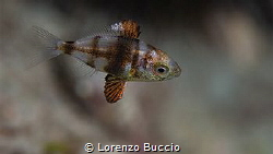 Juvenile of Diplodus sp. (vulgaris?). note the fins struc... by Lorenzo Buccio