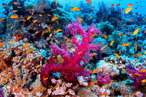 Anthias and Coral/Photographed with a Tokina 10-17 mm fis... by Laurie Slawson