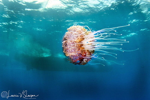 Jellyfish and Dive Boat/Photographed with a Tokina 10-17 ... by Laurie Slawson