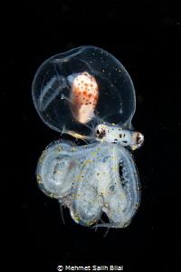 Juvenile wonderpus octopus. by Mehmet Salih Bilal
