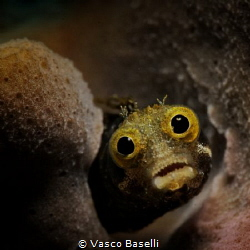 Staring Blenny by Vasco Baselli