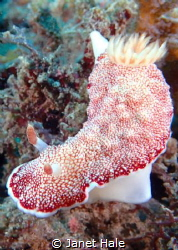 Saw this Goniobranchus while diving in Pandang Bay, Bali. by Janet Hale