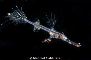 Juvenile ornate ghost pipefish in blackwater dive. by Mehmet Salih Bilal