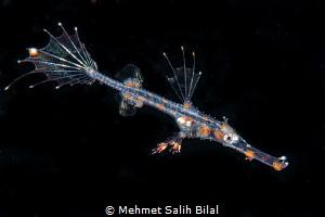 Juvenile ornate ghost pipefish in blackwater dive. by Mehmet Salih Bilal