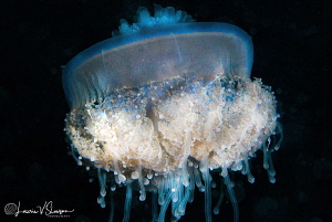 Jellyfish on night dive/Photographed with a Canon 60 mm m... by Laurie Slawson