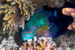 Common parrotfish on night dive/Photographed with a Canon... by Laurie Slawson