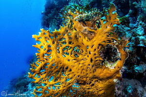 Coral on Daedalus Reef/Photographed with a Tokina 10-17 m... by Laurie Slawson