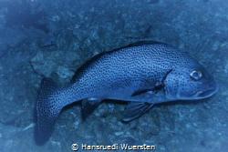 Grouper by Hansruedi Wuersten