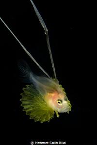 Larval soap fish. Blackwater. by Mehmet Salih Bilal