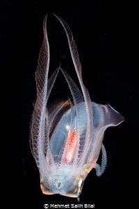 Diamond squid. by Mehmet Salih Bilal