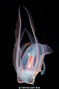 Diamond squid. by Mehmet Salih Bilal
