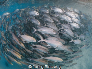 Bigeye jackfish school by Joerg Blessing