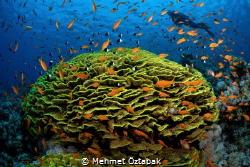 underwater life     Red sea /Tiran  reefs by Mehmet Öztabak