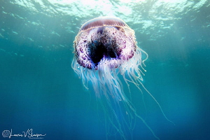 Jellyfish/Photographed with a Tokina 10-17 mm fisheye len... by Laurie Slawson