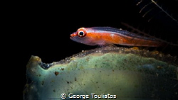 Goby on turnicate!!! by George Touliatos