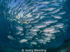 School of Bigeye Jackfish at sunset. by Joerg Blessing