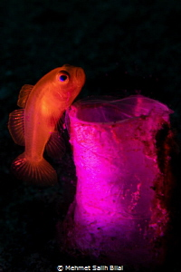 Lemon goby and its tunicate. by Mehmet Salih Bilal