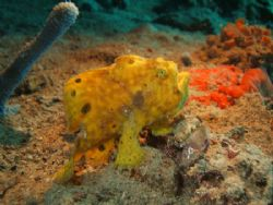 frogfish, fuji f450 strobe ds50 by Wendy Montbrun