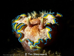 Glossodoris Cincta by Tim Steenssens
