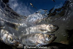 pearl mullet fishes 2019 The incredible journey of pea... by Mehmet Öztabak