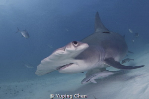 Hammerhead Shark by Yuping Chen