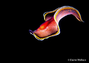 Free swimming flatworm, night dive in Bunaken by Elaine Wallace