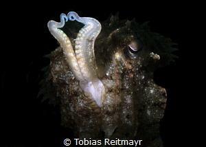 Cuttlefish, Bianca, Lembeh Strait by Tobias Reitmayr