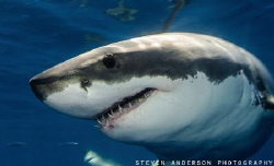 Constant display of power when observing the Great White ... by Steven Anderson
