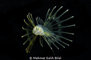 Larval lionfish. Blackwater dive. by Mehmet Salih Bilal