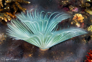 Feather duster worm/Photographed with a Canon 60 mm macro... by Laurie Slawson