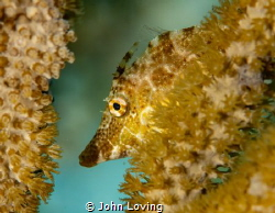 Juvenile file fish in Little Cayman by John Loving