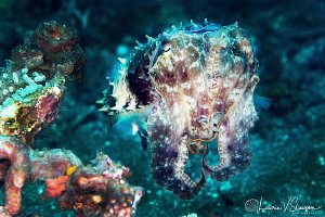 Broadclub cuttlefish/Photographed with a Canon 100 mm mac... by Laurie Slawson