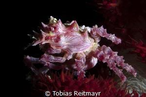 Candy Crab, Police Pier, Lembeh Strait by Tobias Reitmayr