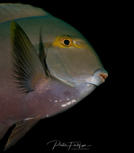 doctorfish by Pieter Firlefyn