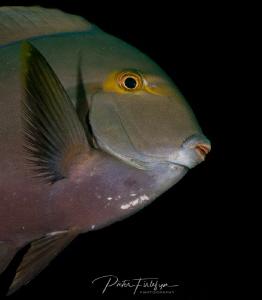 doctorfish by Pieter Firlefyn
