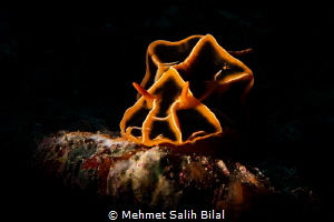 Halgerda reticulidia. by Mehmet Salih Bilal