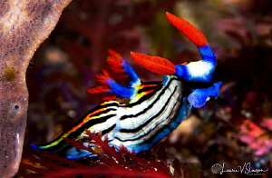 Nembrotha sp. undescribed/Photographed with a Canon 100 m... by Laurie Slawson