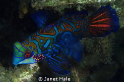 A Mandarin fish that seemed to come toward me, instead of... by Janet Hale