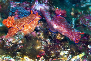 Pair of Ceratosoma trilobatum/Photographed with a Canon 1... by Laurie Slawson