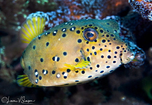 Yellow boxfish/Photographed with a Canon 100 mm macro len... by Laurie Slawson