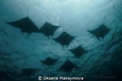 Manta rays, passing in surface in the Sulwaesi Sea near S... by Oksana Maksymova